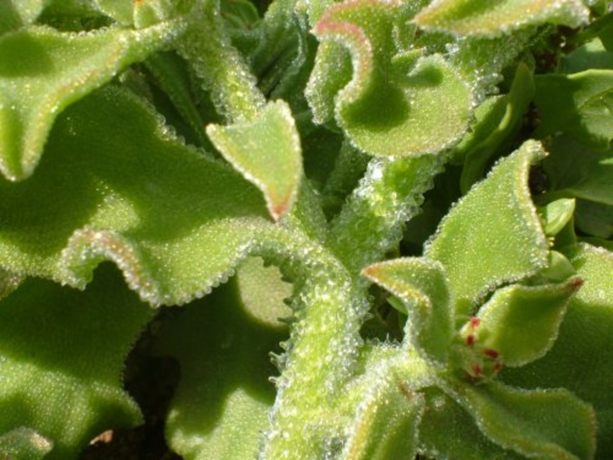Ice Plant foliage Photo by Steve Andrews