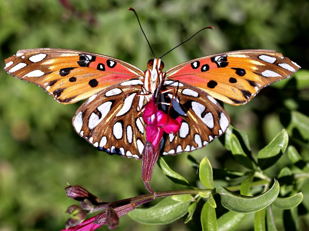 The beautiful gulf fritillary is common throughout the South.