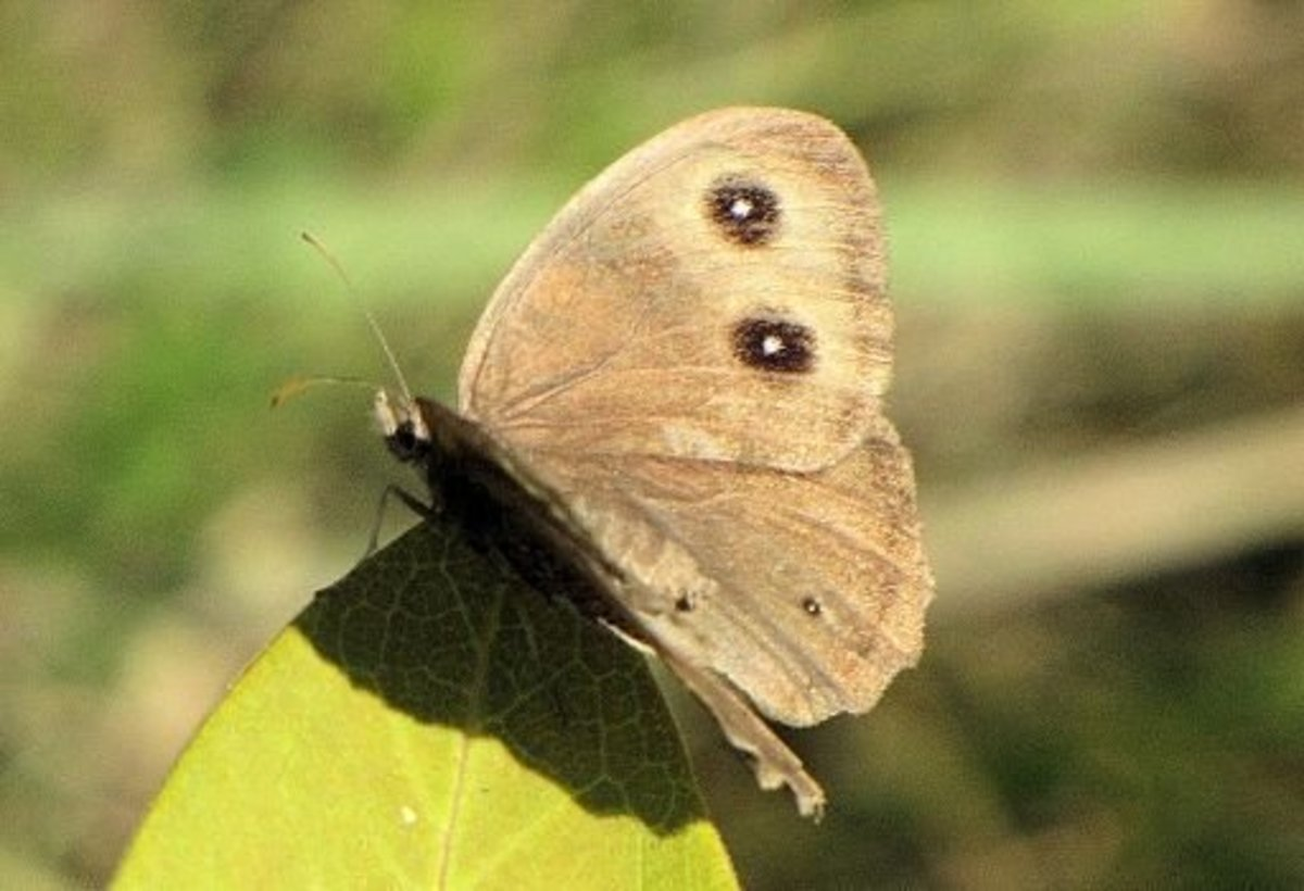 Common Wood Nymph Butterfly (Cercyonis pegala)