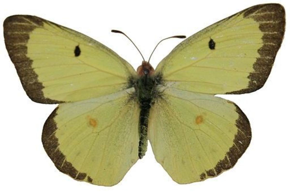 Clouded Sulphur Butterfly (Colias philodice)