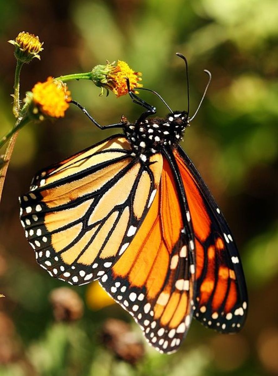 Butterfly Identification Guide: 22 Types of Butterflies (With Photos) | Owlcation - photo#36