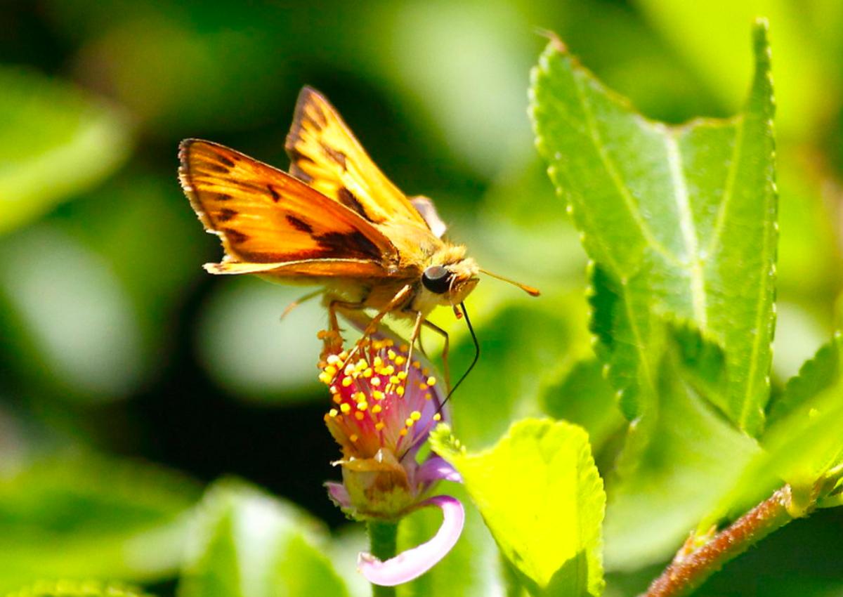 A Fiery Skipper Butterfly (Family Hesperiidae)