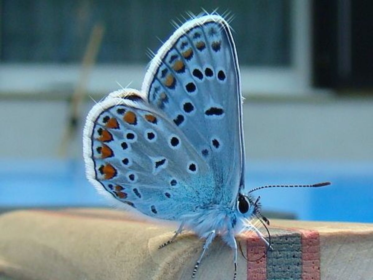 """A Butterfly From the """"Blues Group"""" (Family Lycaenidae)"""