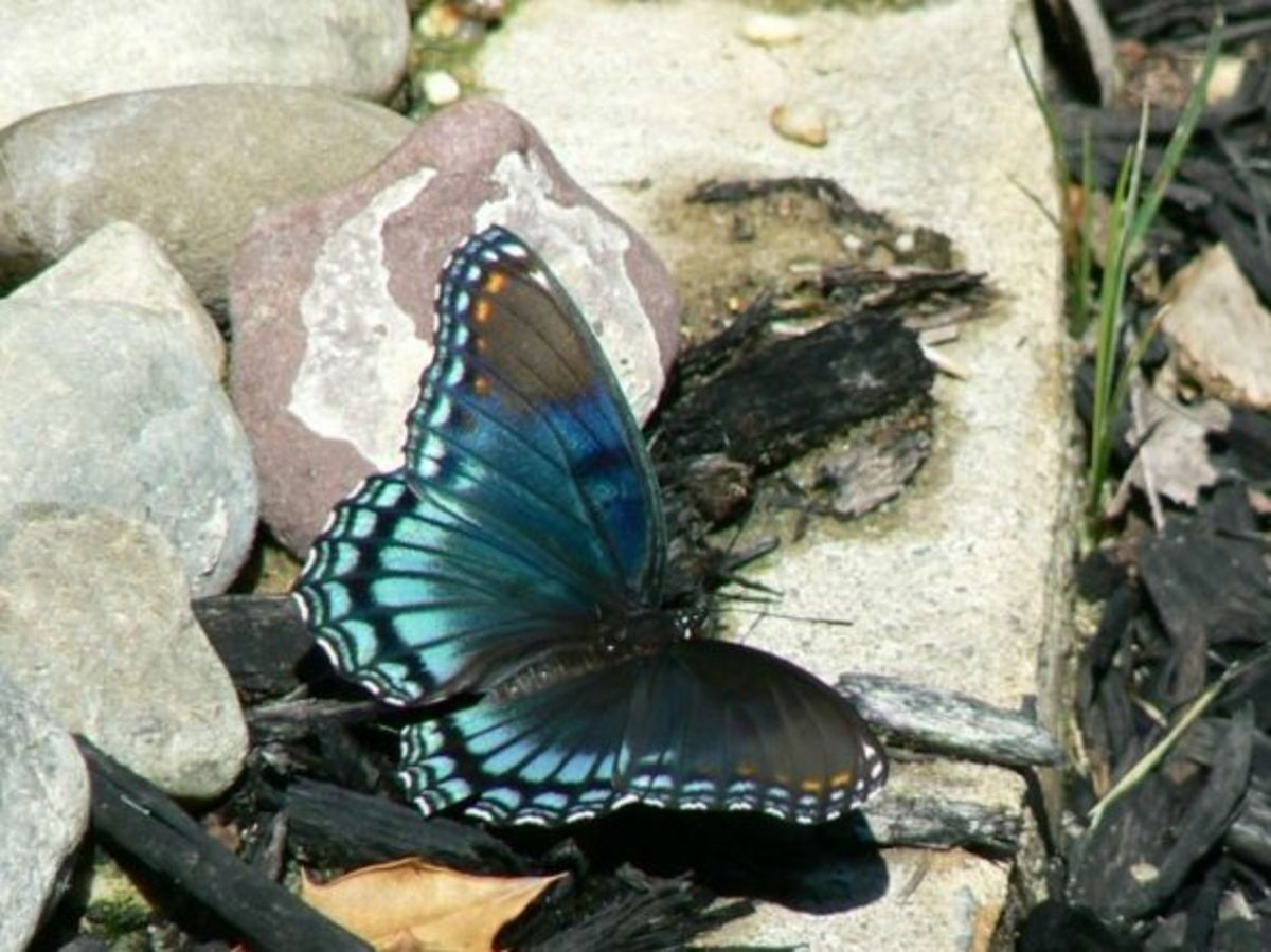 Red-Spotted Purple Butterfly (Limenitis astyanax)