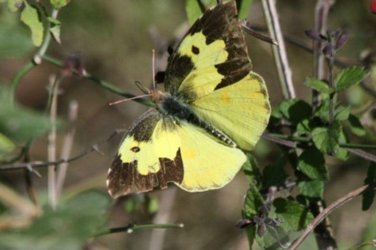 Dogface Sulphur Butterfly (Colias cesonia)