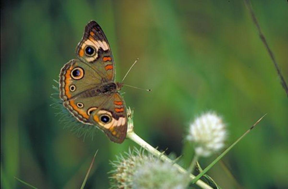 The Buckeye Butterfly (Junionia coenia)