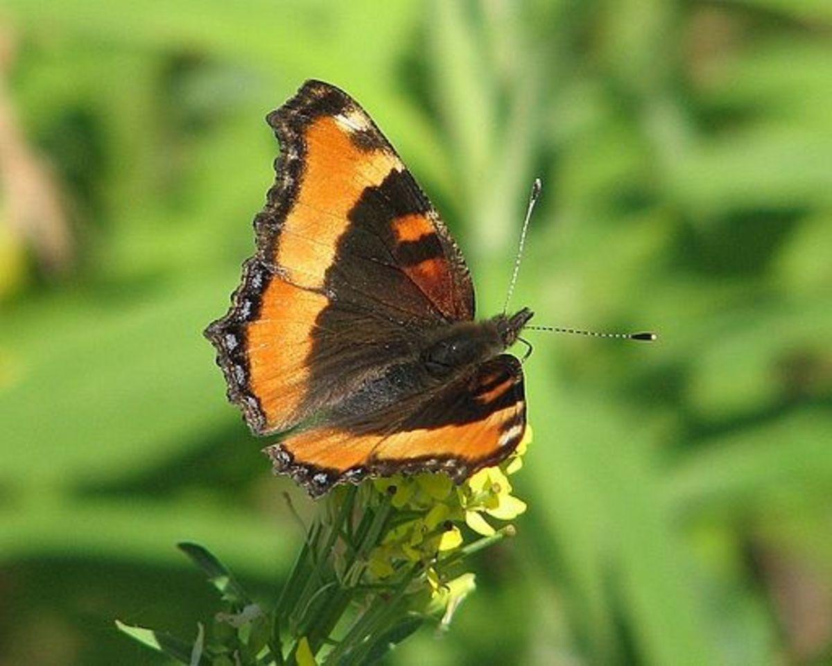 Milbert's Tortoiseshell Butterfly (Aglais milberti)