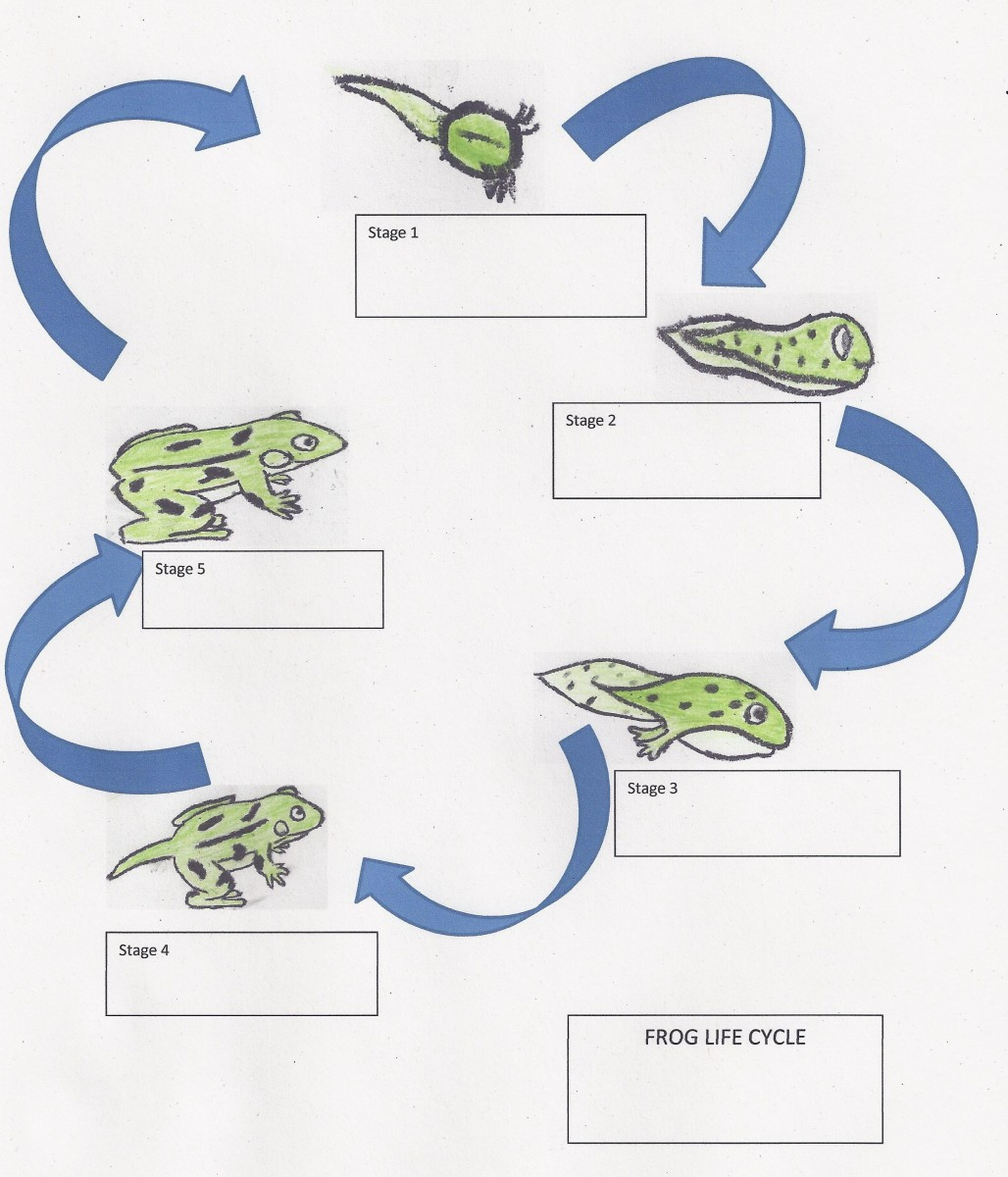 Life Cycle Of A Frog Lesson Plan For Elementary Students Owlcation