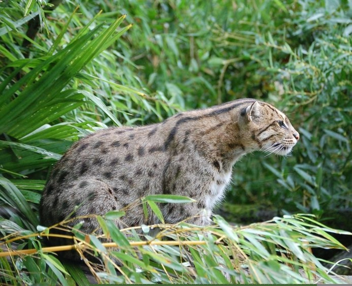 A fishing cat at the Pessac Zoo in France