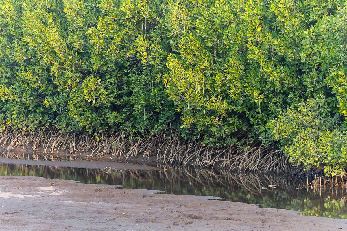 A mangrove swamp in Java