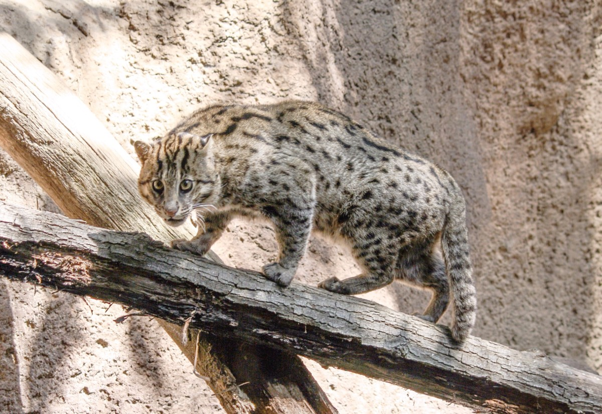 A fishing cat at the San Diego Zoo