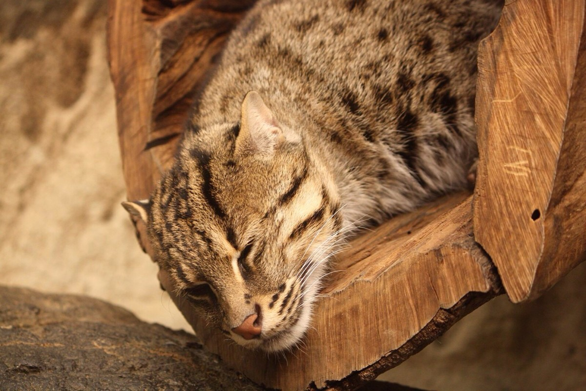 A sleeping fishing cat at the Cincinnati Zoo