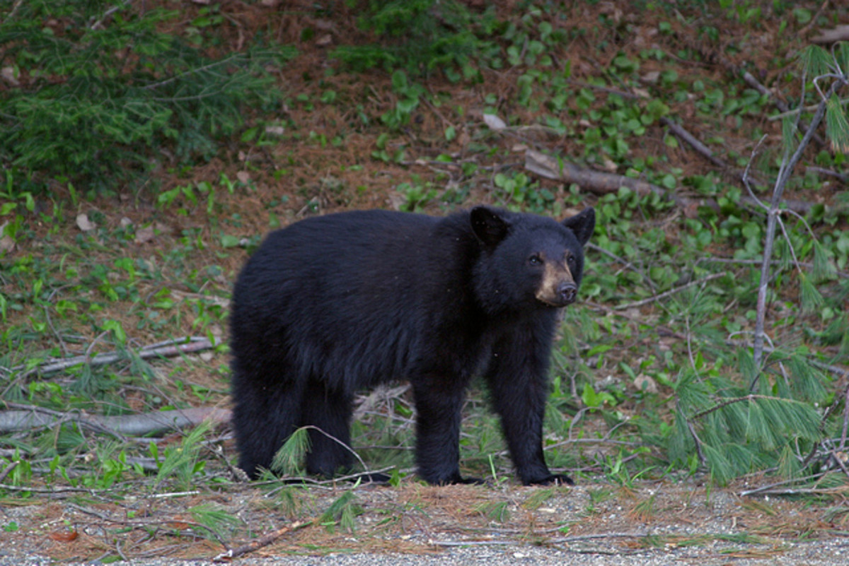 Black Bears are the second largest mammals found in Algonquin Provincial Park. Part two of this series features this often misunderstood animal.