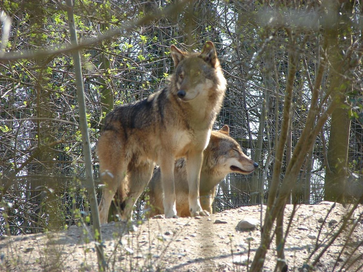 The eastern wolf is often mistaken for coyotes when spotted by Algonquin campers. They typically have a reddish brown coat, similar to that of the coyote.