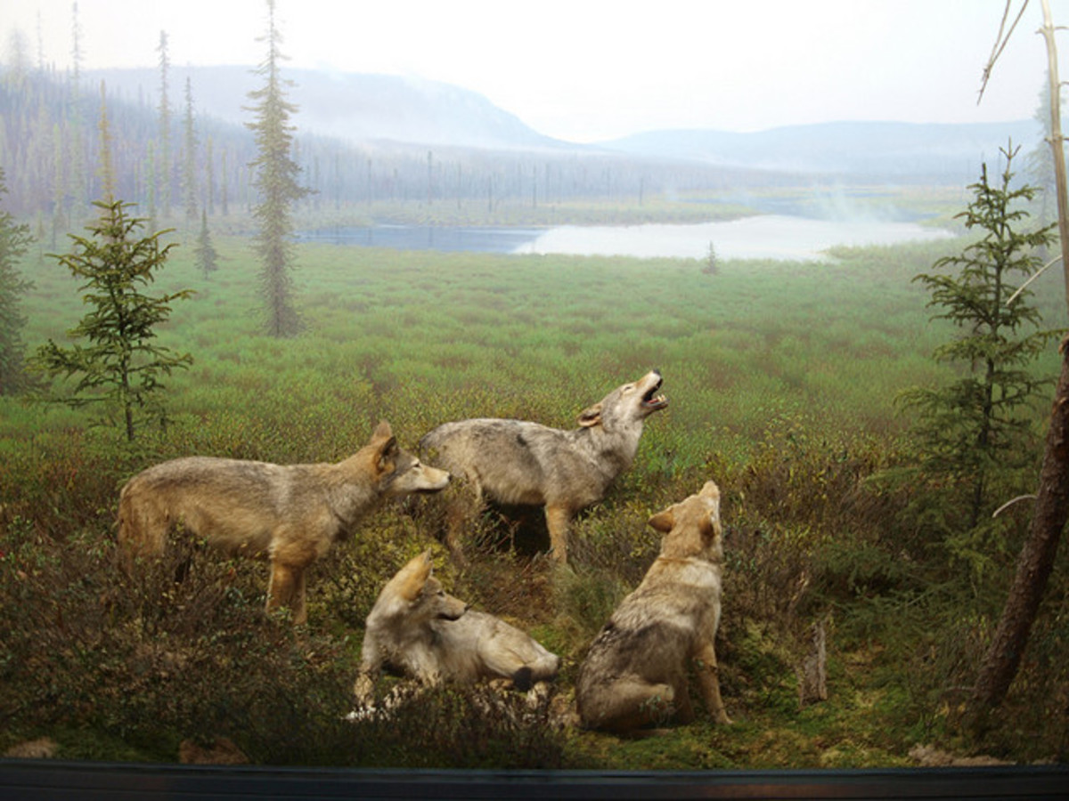 An exhibit of eastern wolves from the Algonquin Park Visitors Centre. There are fewer than 500 of these animals left. Charities like CPAWS are helping to ensure the eastern wolf will continue to have a protected habitat long into the future.