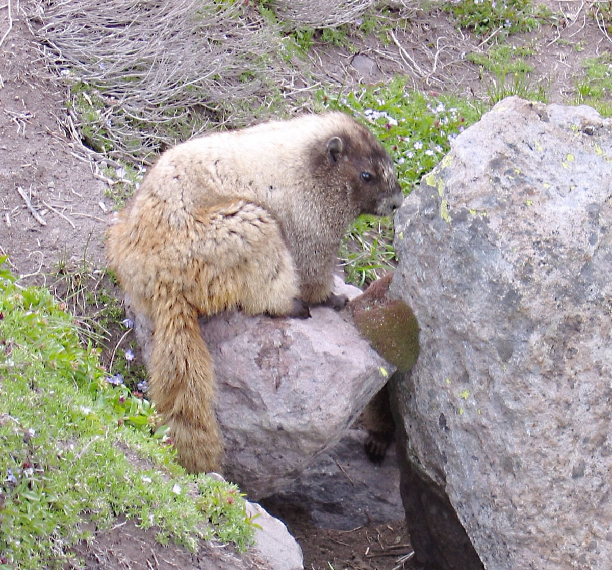 A hoary marmot in Mount Ranier National Park, Washington