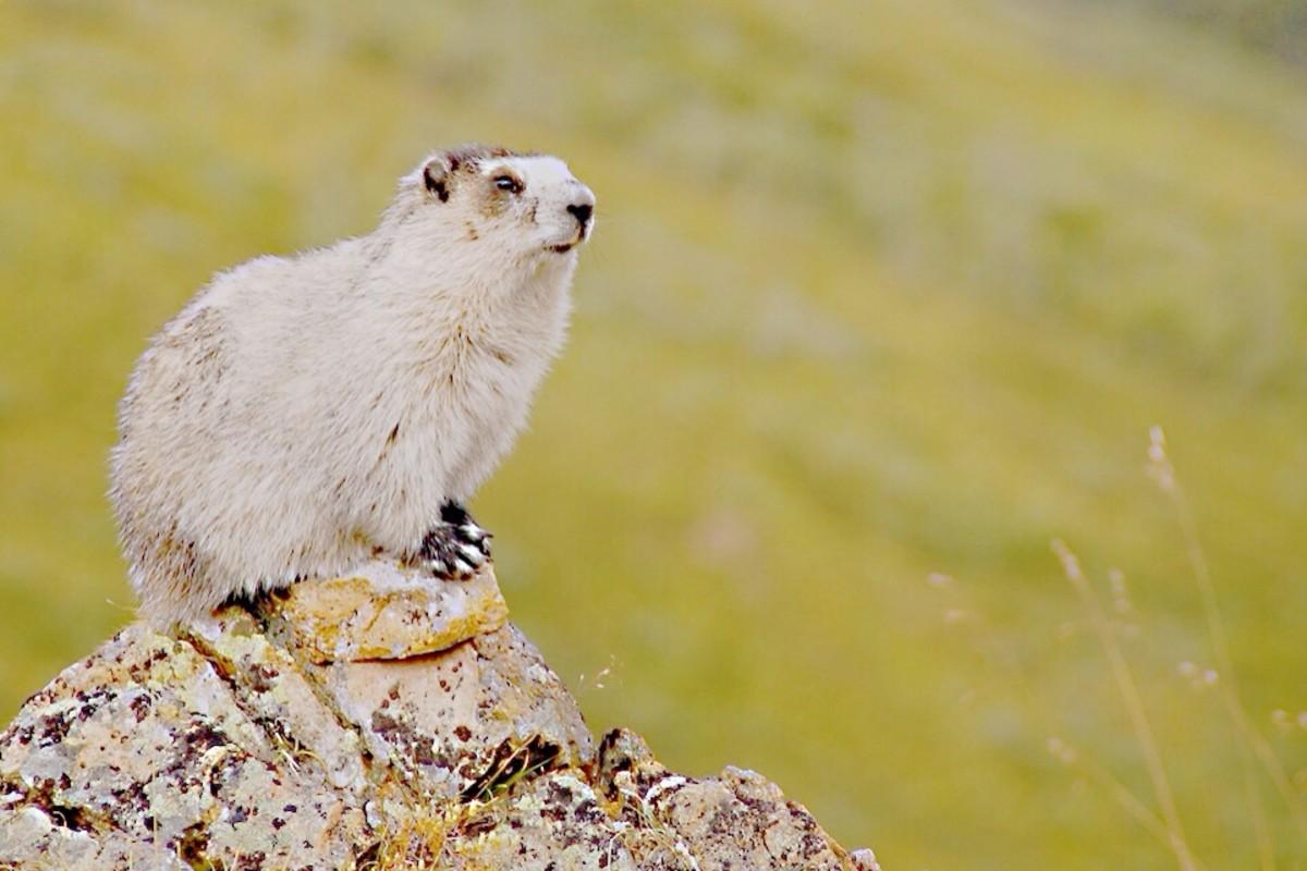 A hoary marmot