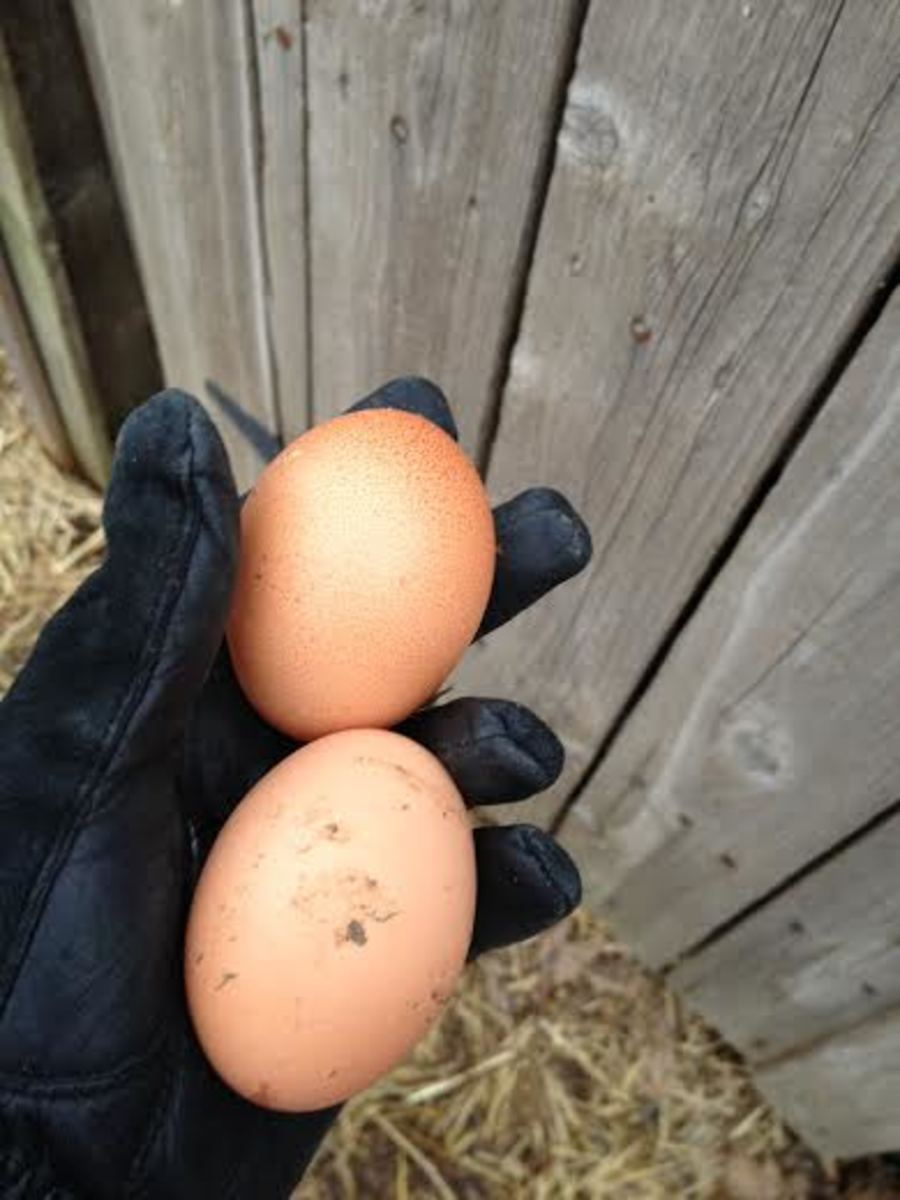 Two large brown eggs laid by two of my Plymouth White Rock hens.  These eggs are always nice, large and taste fantastic.
