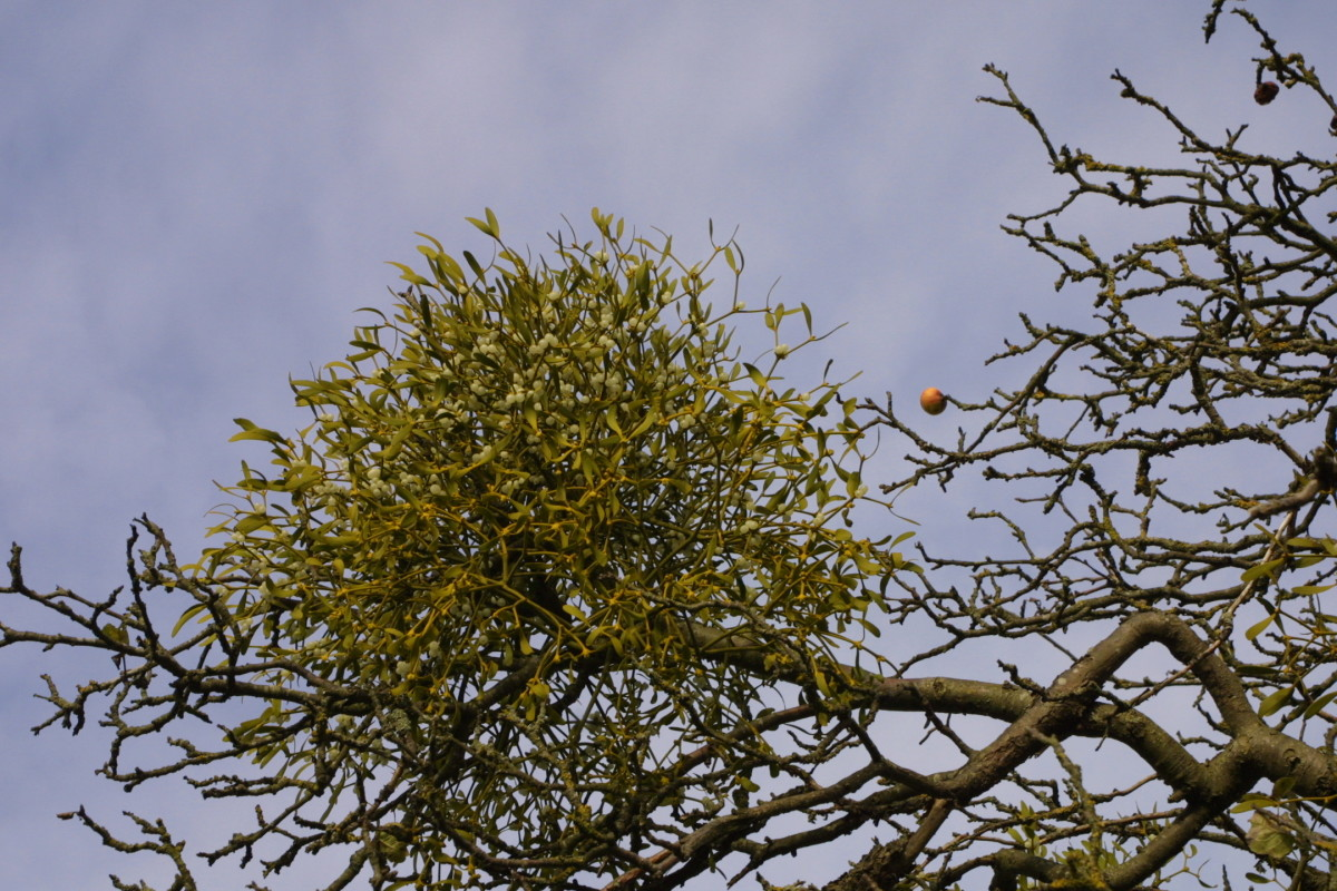 Mistletoe growing in an apple orchard, Worcestershire