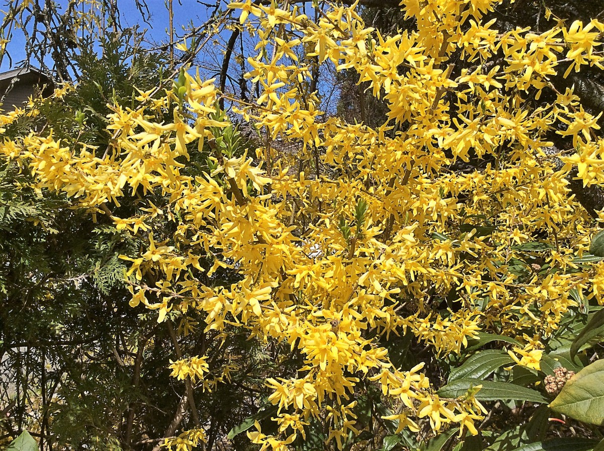 A forsythia shrub in bloom often looks like a yellow flame.