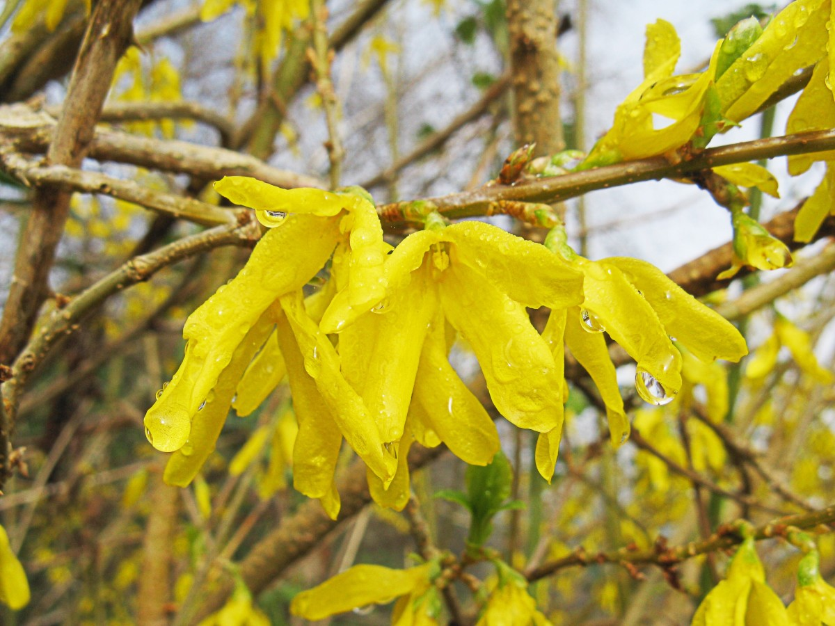 Forsythia flowers in the rain