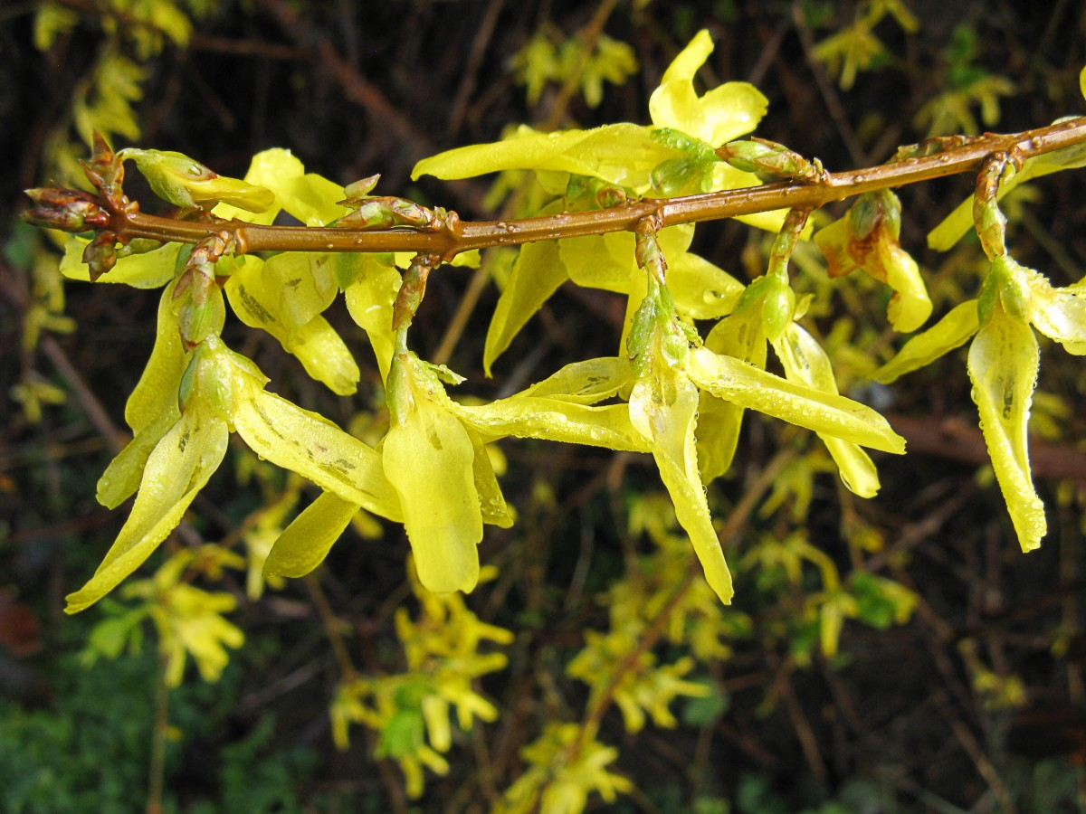 Forsythia flowers after a spring shower
