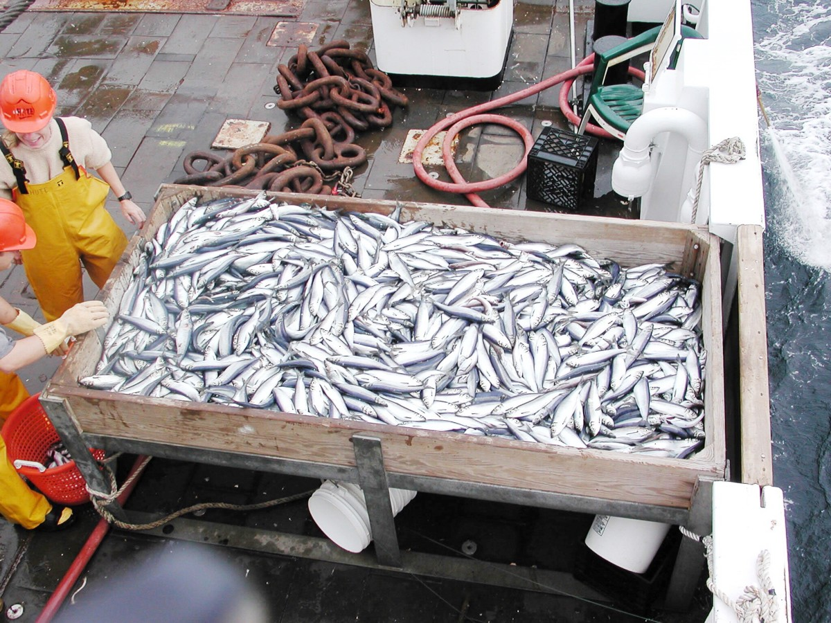 Freshly caught Atlantic herring