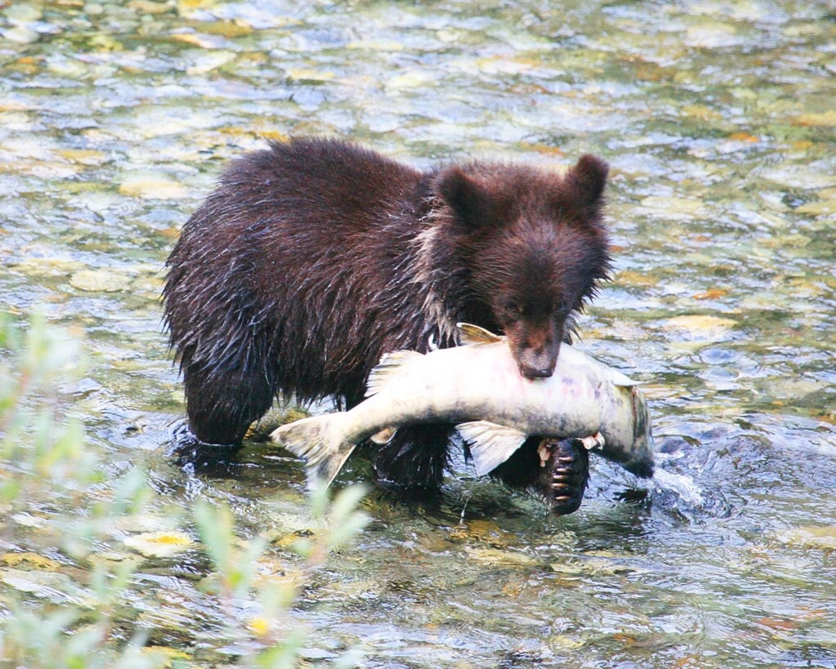 Like this bear cub, some Scottish people in the eighteenth century caught salmon and ate it during a picnic.
