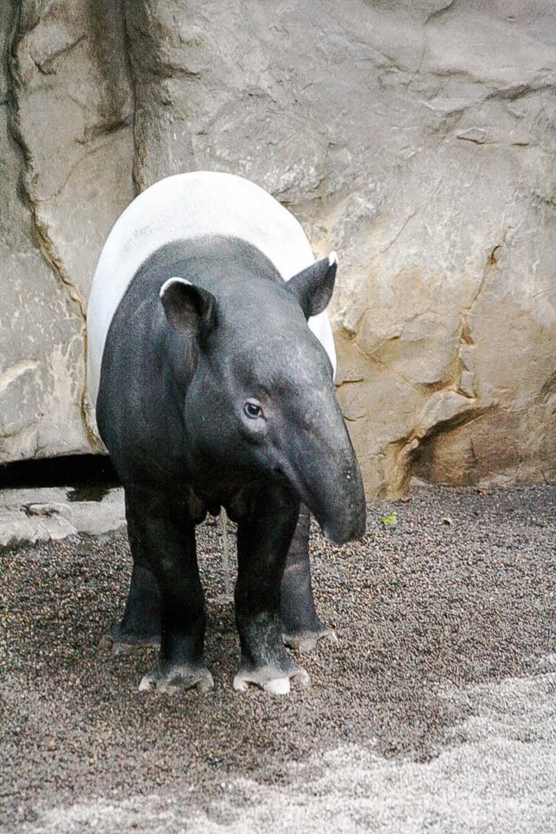 A Malayan tapir in a zoo