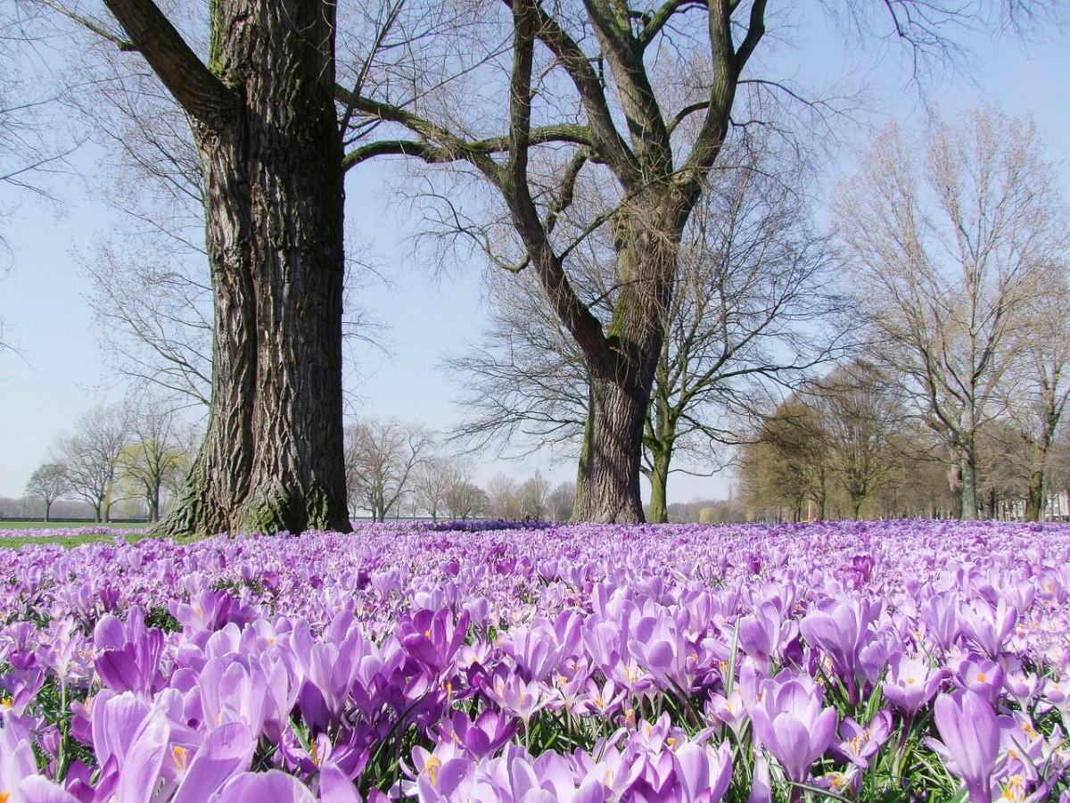Crocus flowers in a park in Dusseldorf, Germany