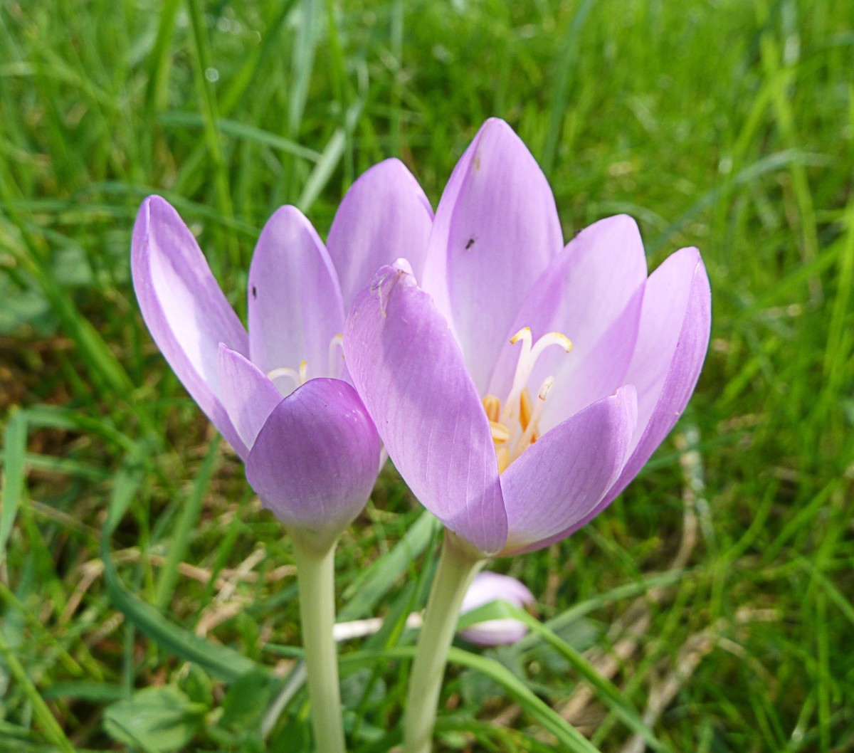 Autumn crocus in the Czech Republic