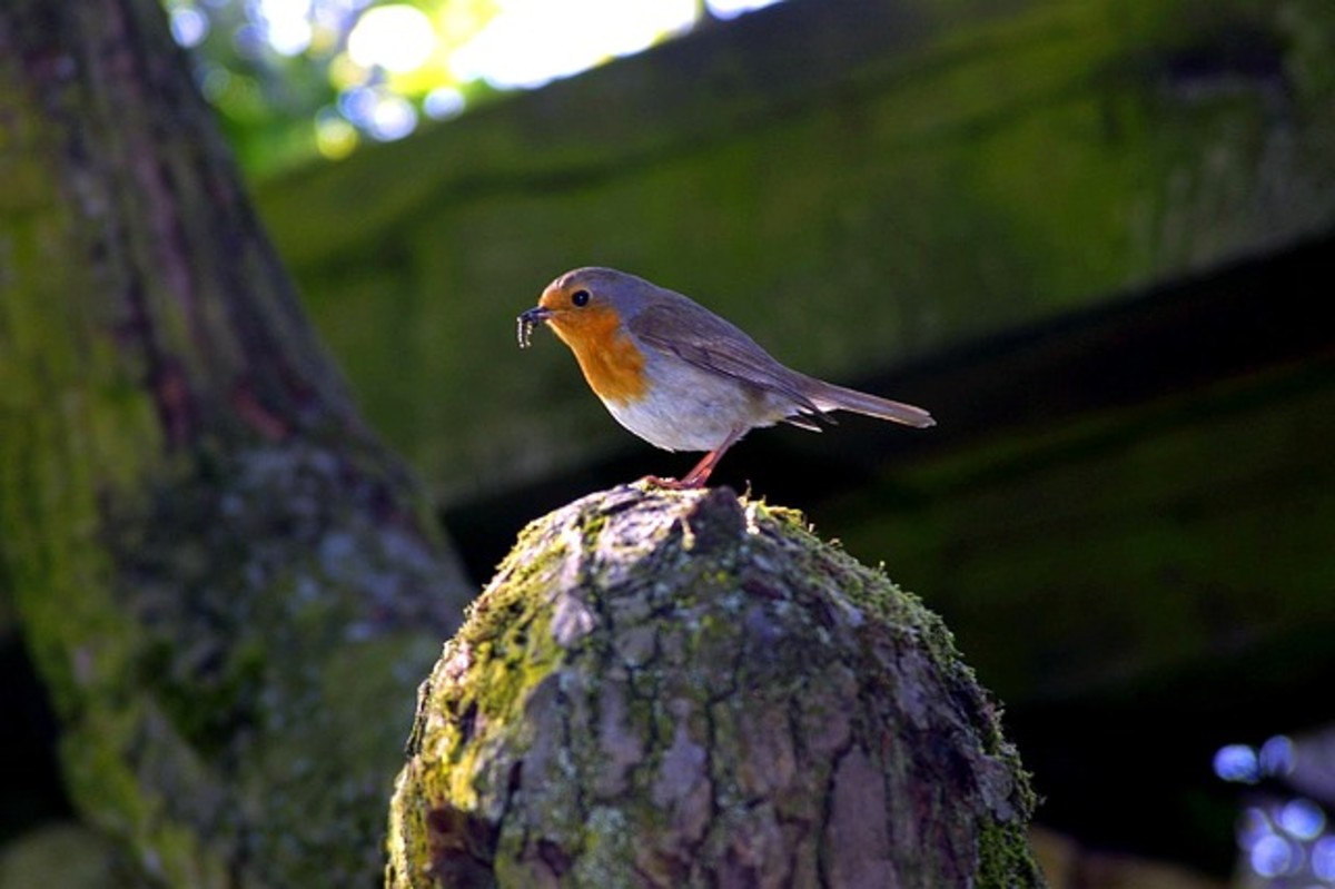 A robin displays the tasty worm it's plucked from nature's pantry
