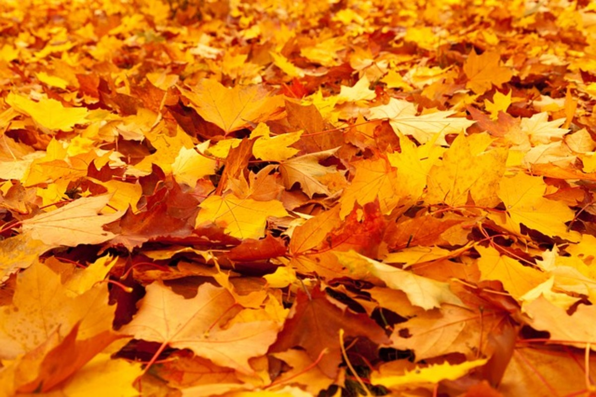 Autumn leaves drop on the ground to make a golden carpet that crunches and crinkles underfoot with onomatopoeic satisfaction.