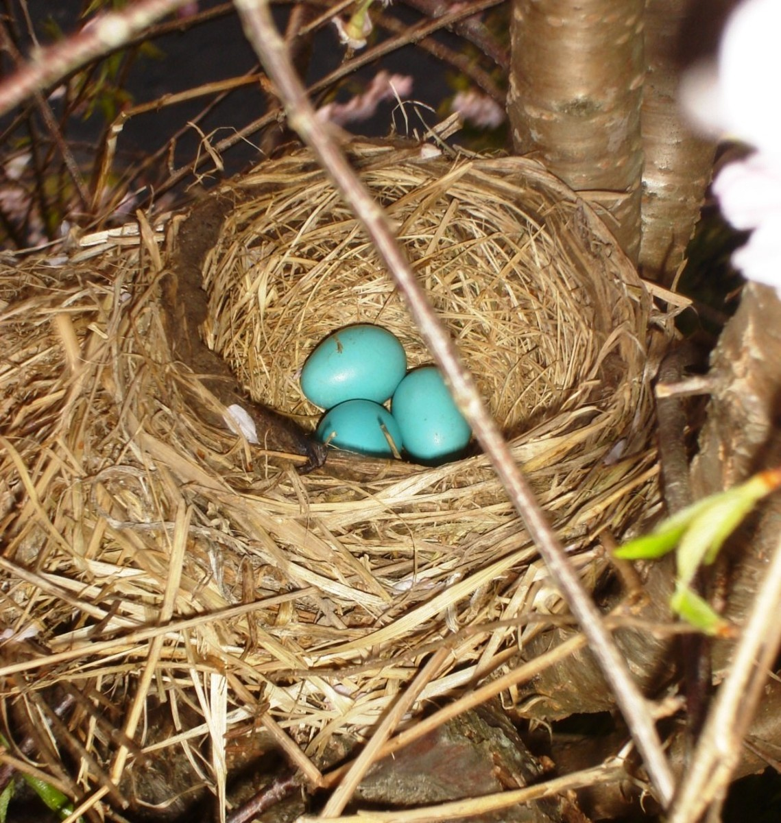 An American Robin's nest in spring.