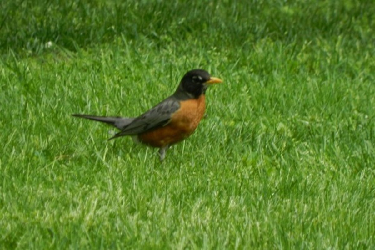 The American Robin is a True Thrush that loves to hunt in grassy lawns.