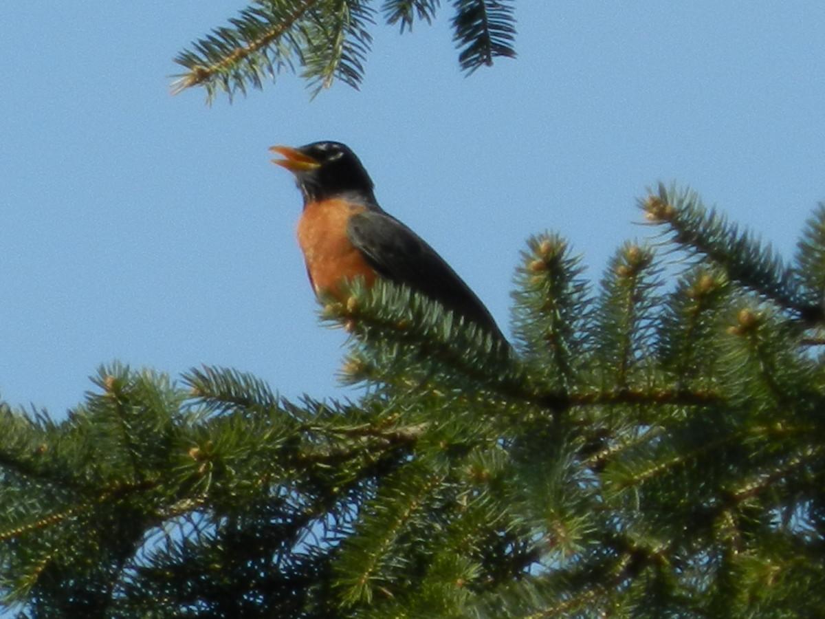 American Robin Singing in a Blue Spruce