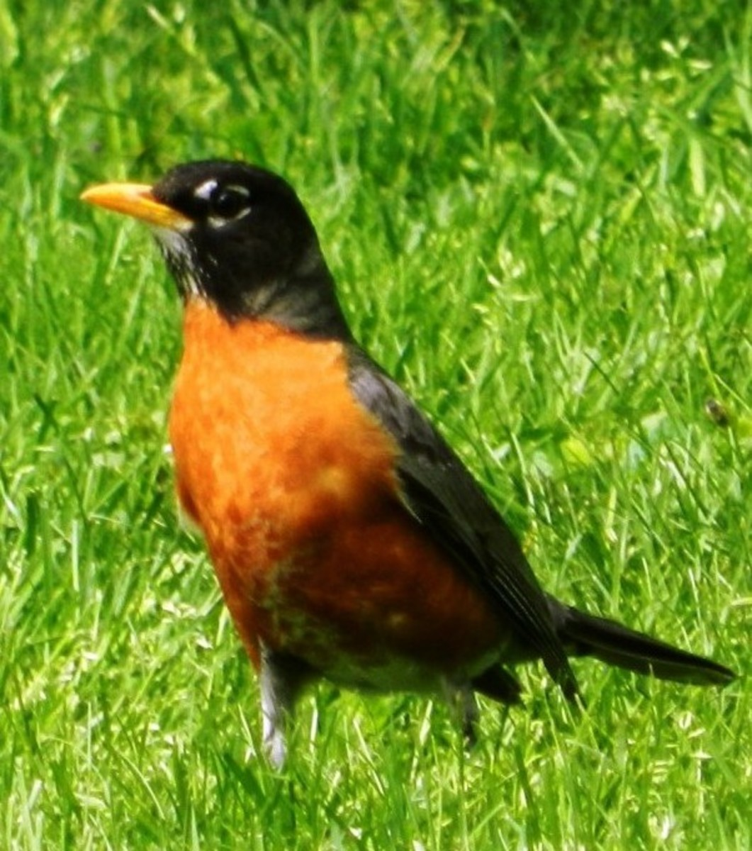 The Robin is a migratory bird common throughout the US and Canada.