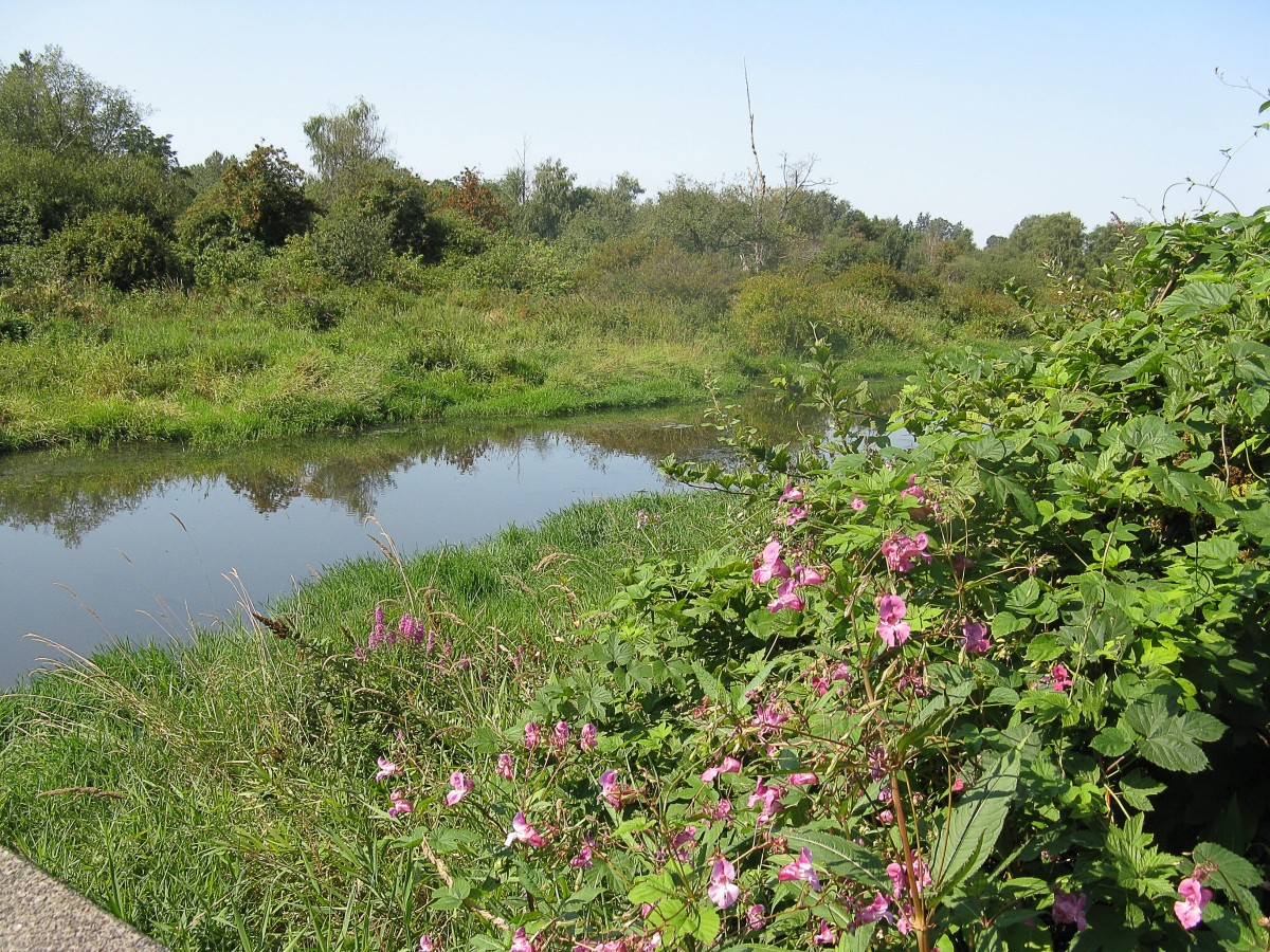 Still Creek and Himalayan balsam growing on the near bank