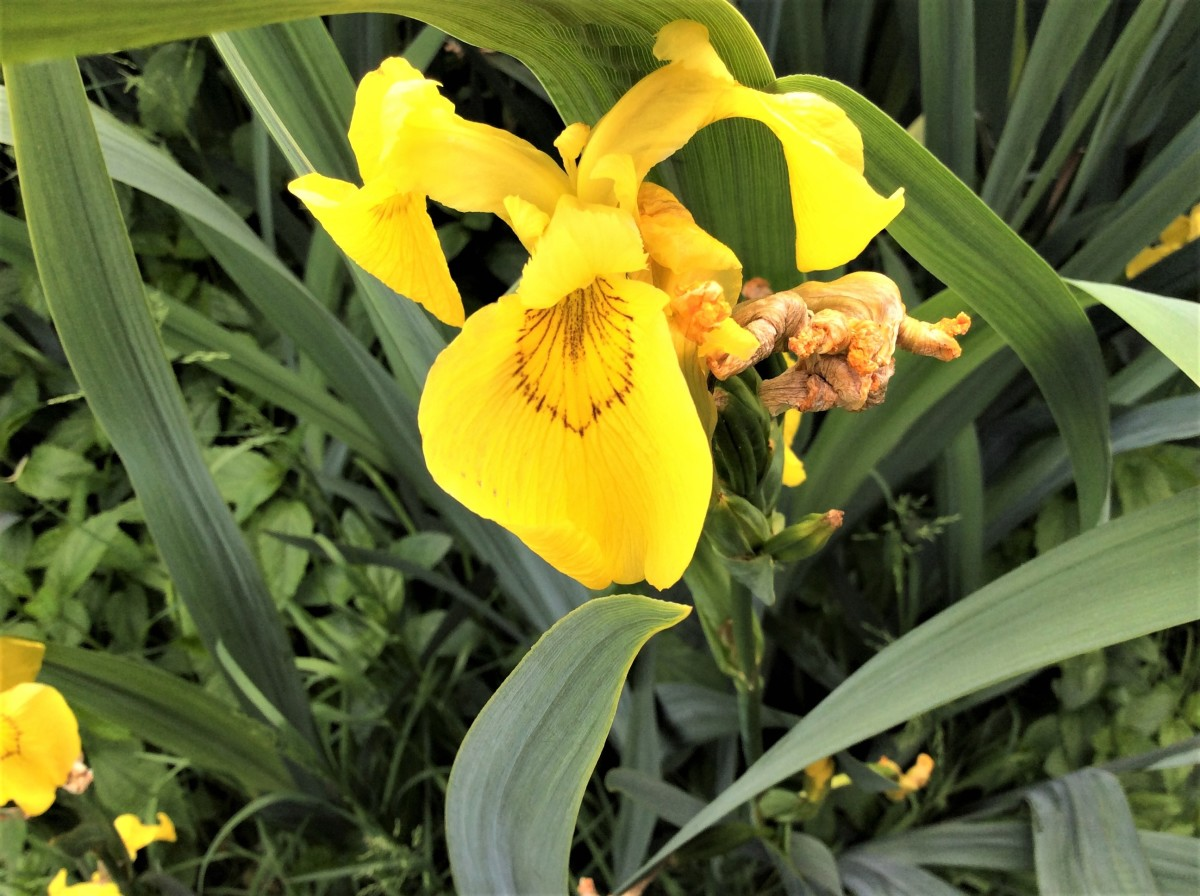 A yellow flag iris in John Hendry Park, Vancouver
