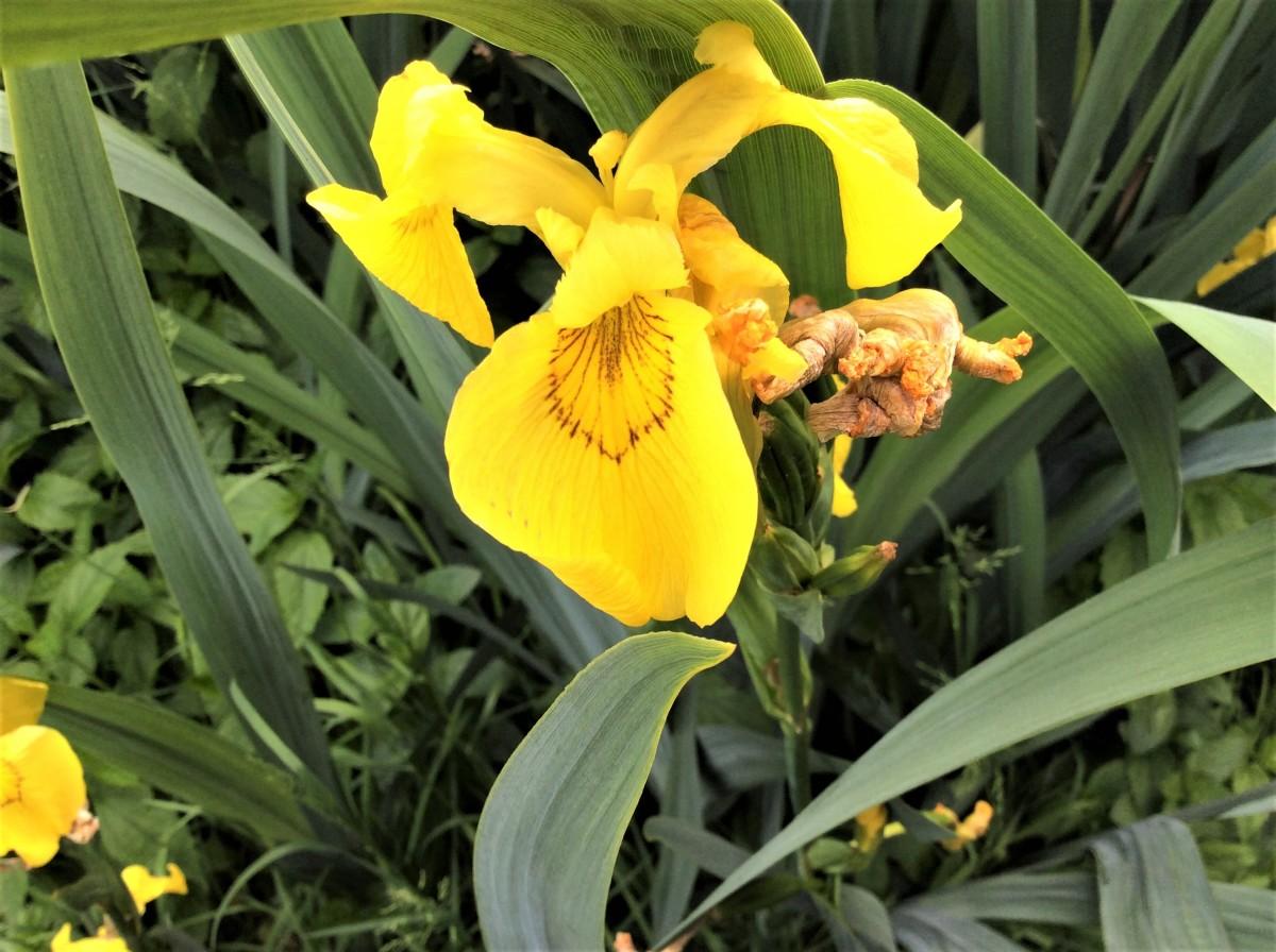 A yellow flag iris in John Hendry Park, Vancouver