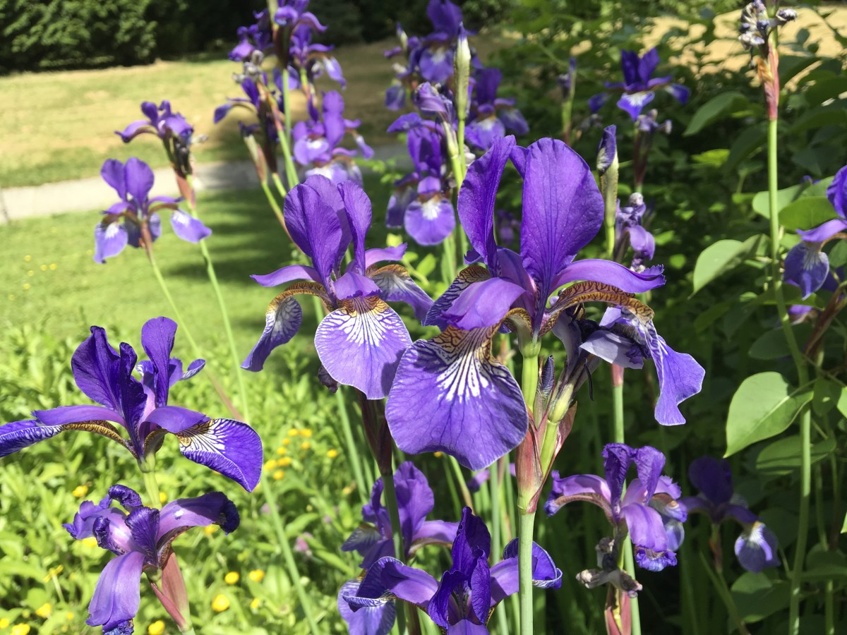 Blue irises are my favourite type. These were growing by a walking path.