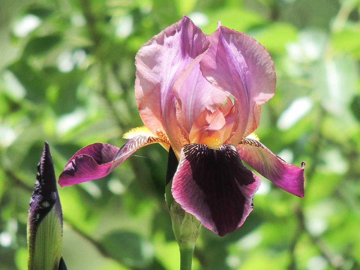 A multicoloured iris