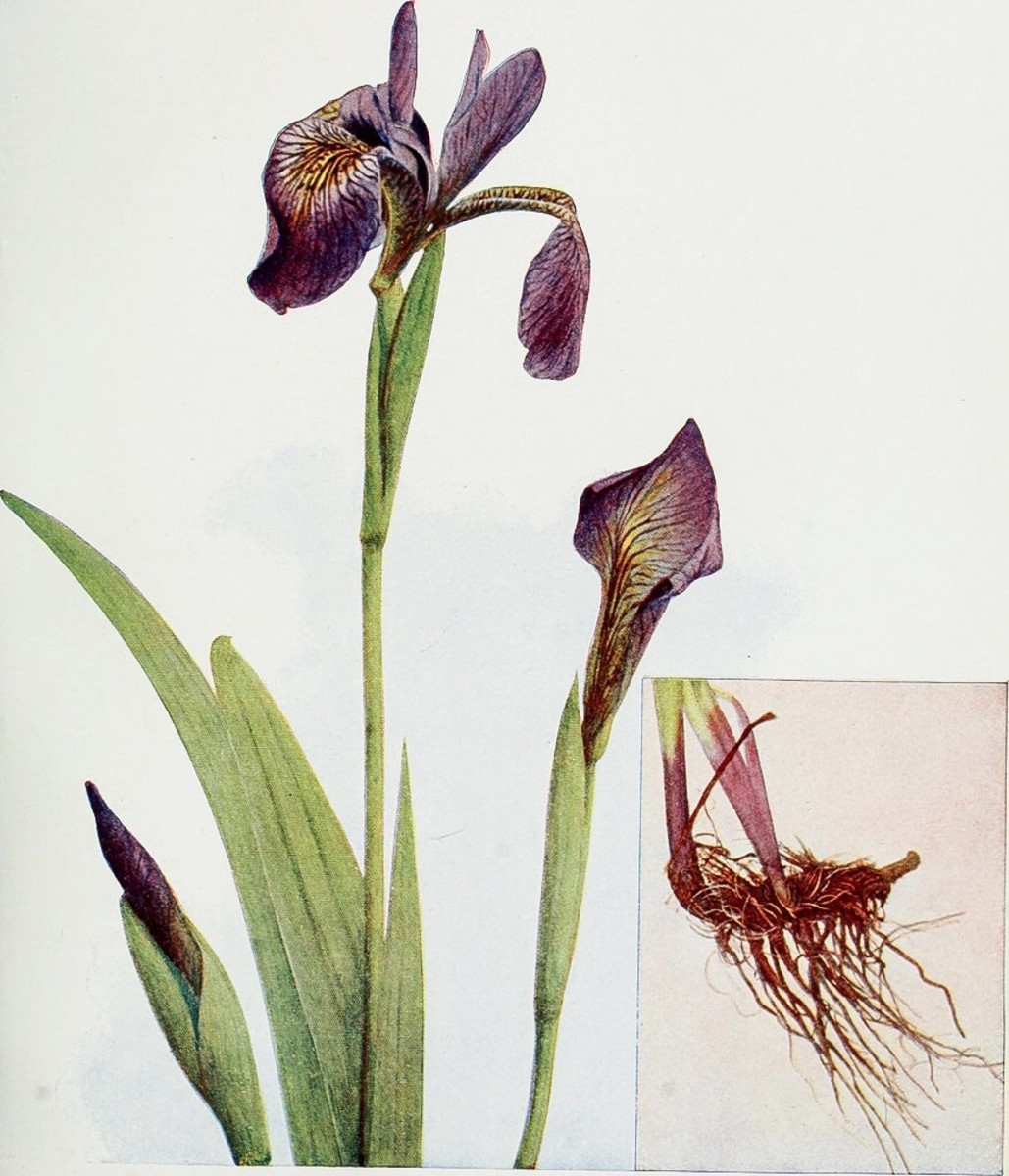 An illustration of an iris plant and its rhizome; in a few species, the rhizome is used to produce dried and preserved orris root