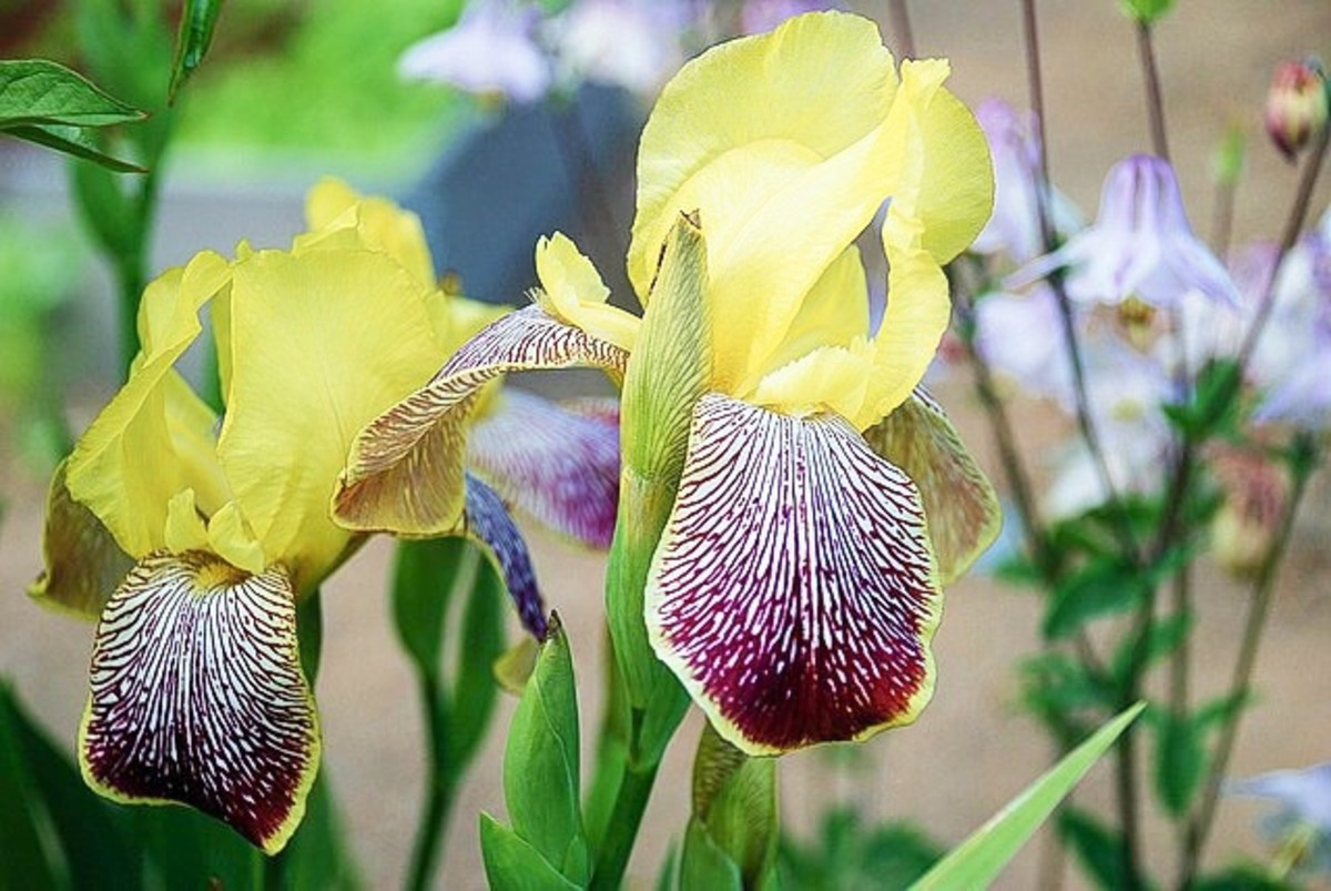 This is an iris in which the falls are not only a different colour from the standards but are also patterned.