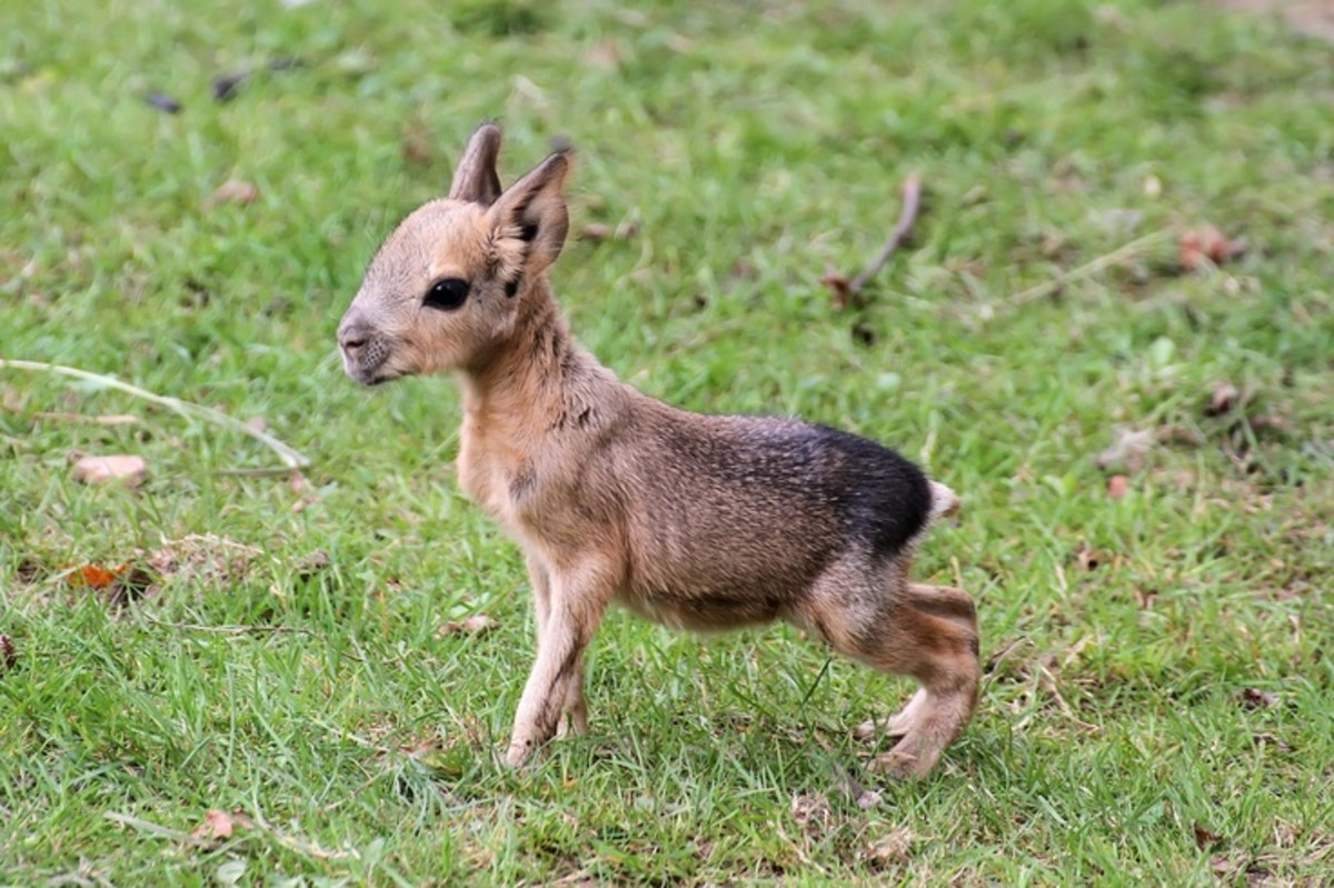 Picture Of A Patagonian Mara