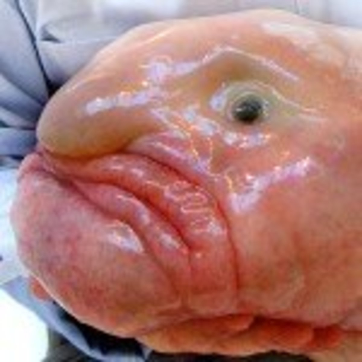 Picture Of A Blob Fish
