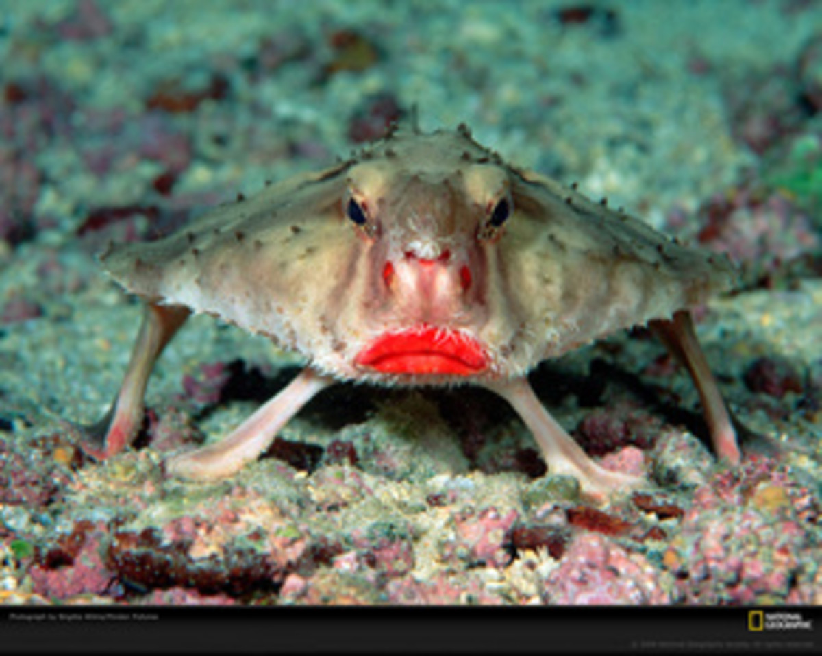 Picture Of A Red Lipped Batfish