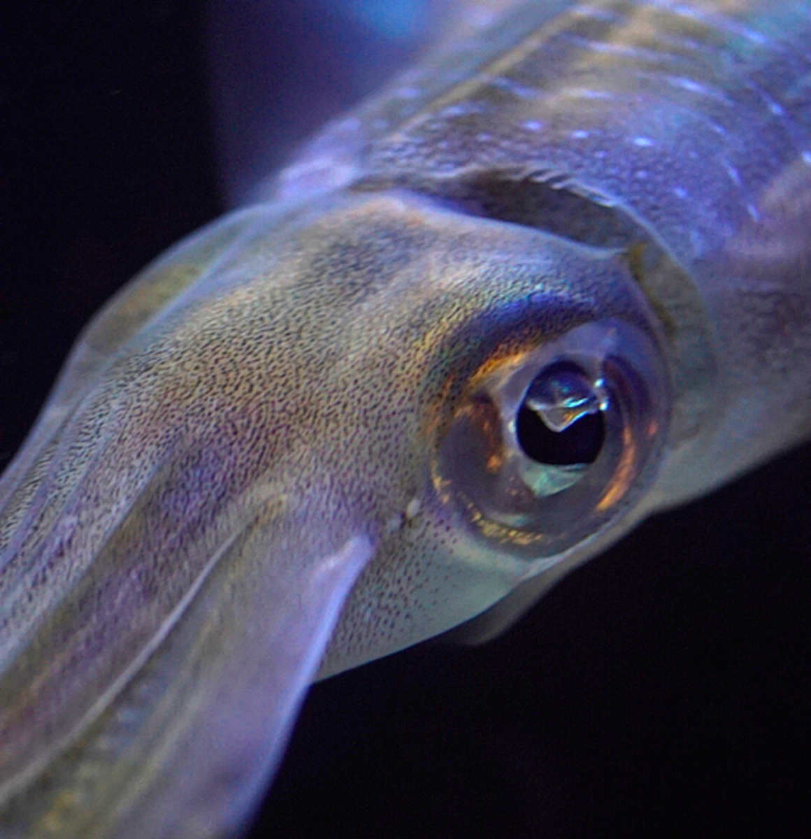 Cephalopods have large eyes and brains