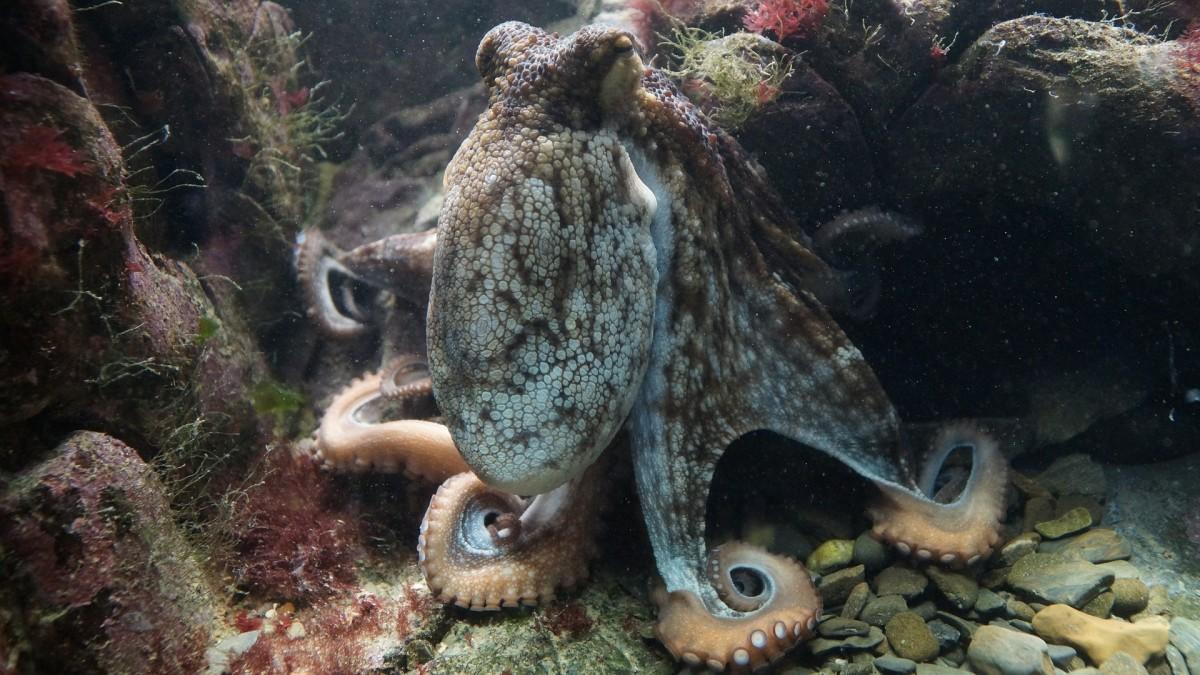 The Common Octopus (Octopus vulgaris), is plentiful in the Atlantic Ocean.