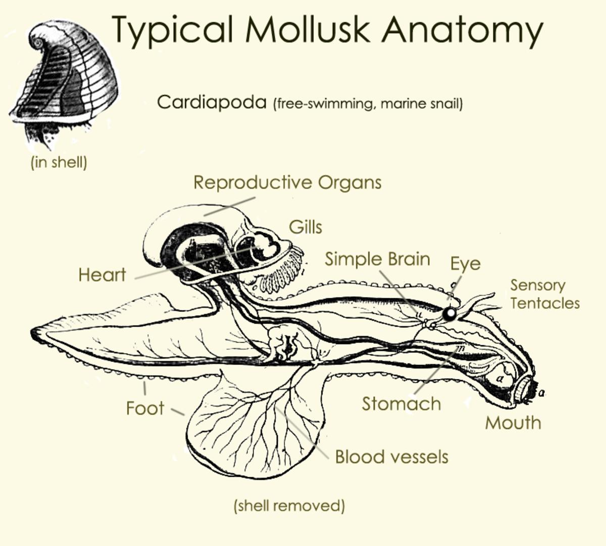 Typical mollusk anatomy